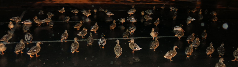 Ireland-Animals-Ducks-Parking