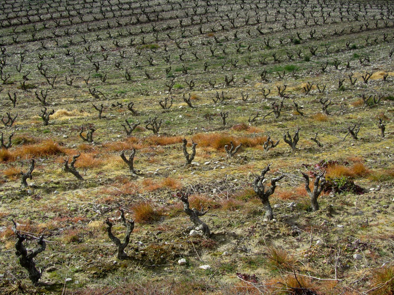 Camino-De-Santiago-Sights-And-Scenery-Vineyard