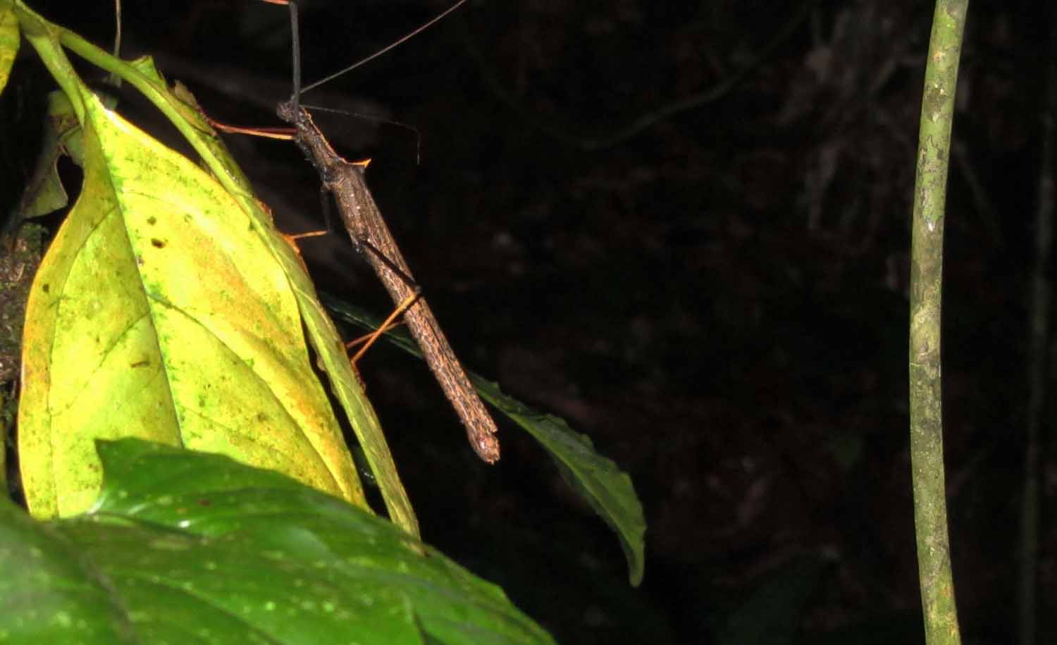 Amazon-Fauna-Walking-Stick