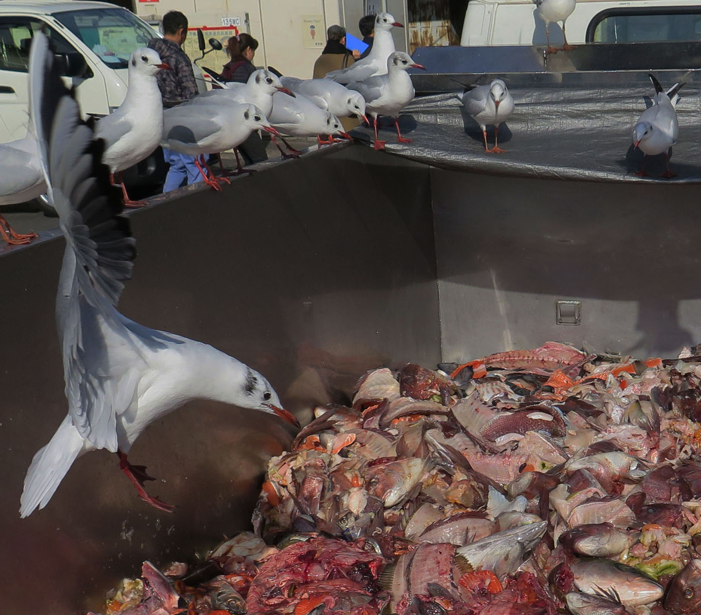 Japan-Tokyo-Tsukiji-Fish-Market-Birds