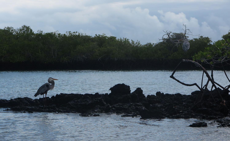 Ecuador-Galapagos-Fauna-Herons
