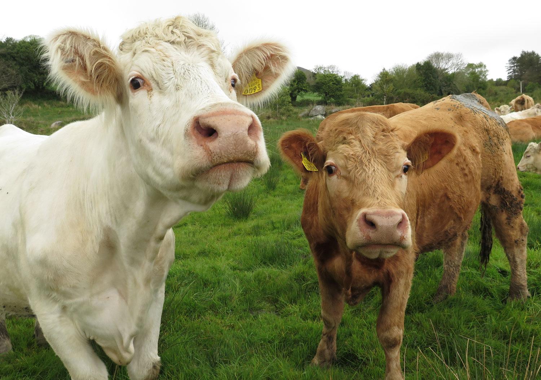 Ireland-Animals-Cows-Friendly