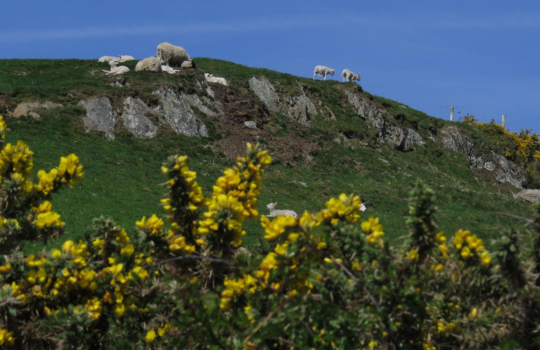 Ireland-Animals-Sheep-Gorse