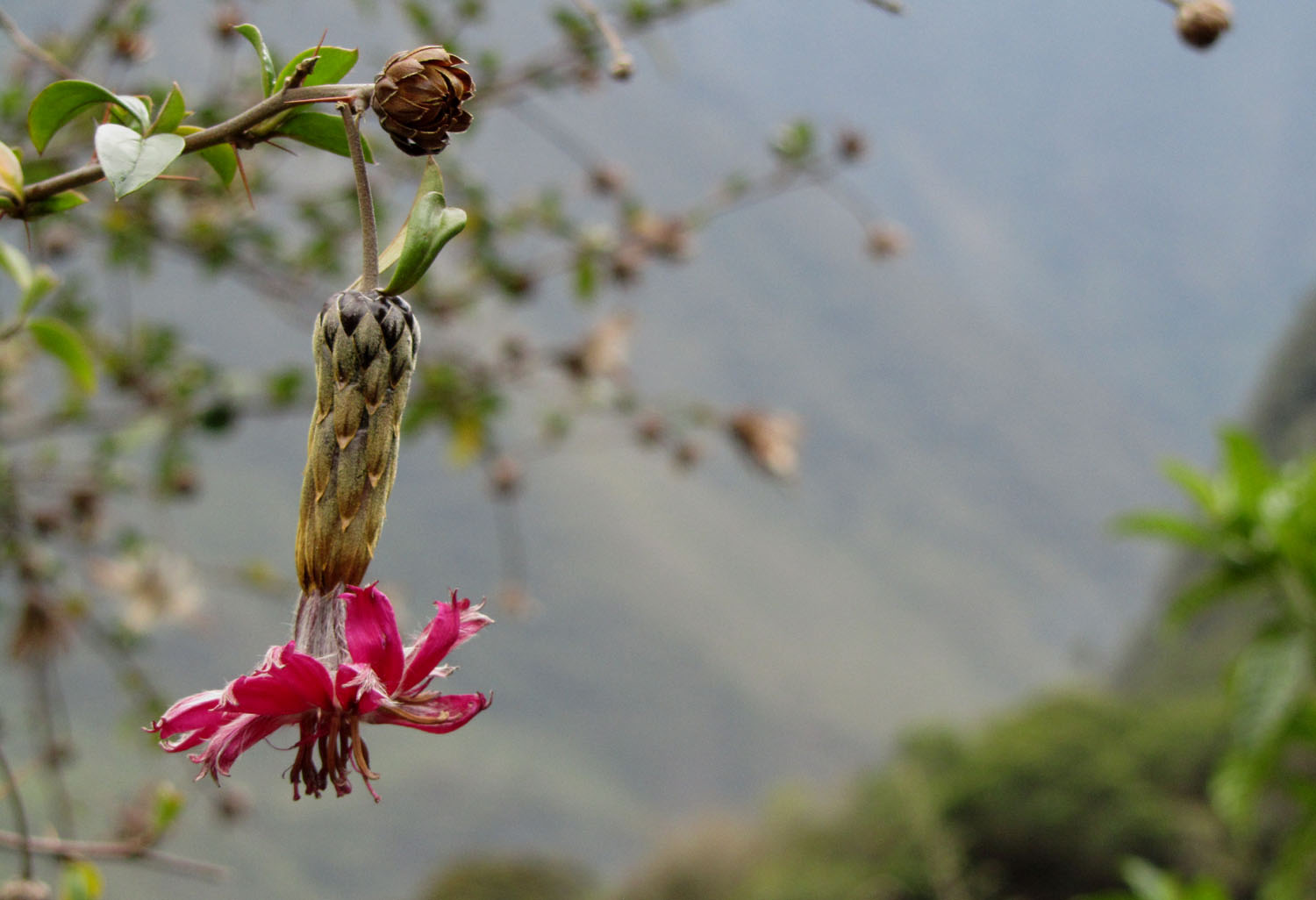 Peru-Salkantay-Trek-Day4-Flower