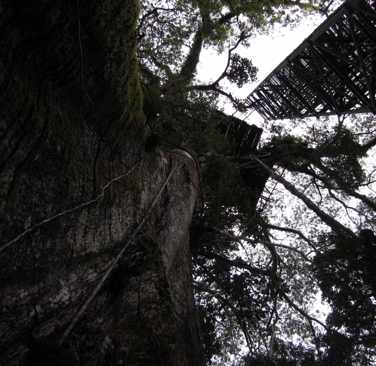 Amazon-Flora-400-Year-Old-Tree
