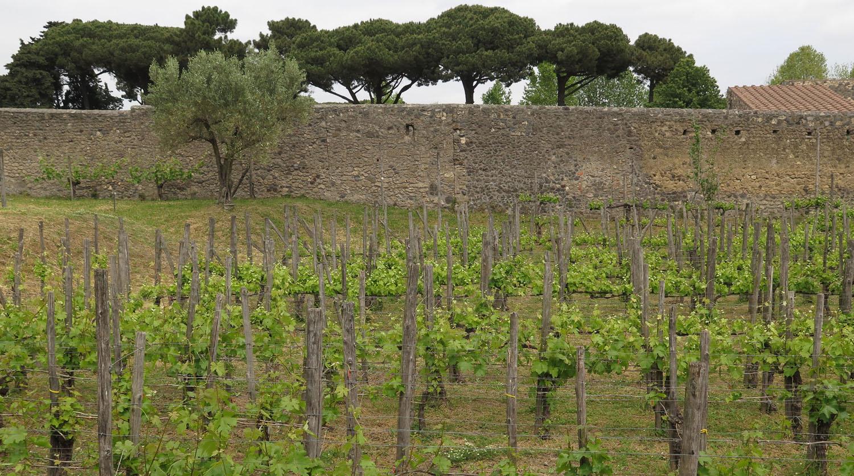 Italy-Pompeii-Vineyard