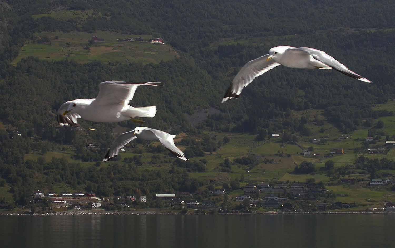 Norway-Sognefjord-Birds
