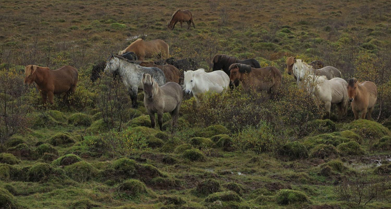 Iceland-Icelandic-Horses