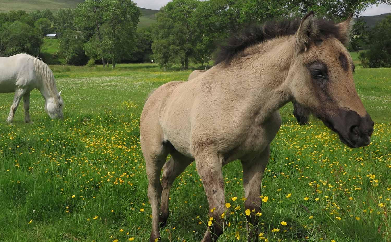 Scotland-Lowlands-Horses