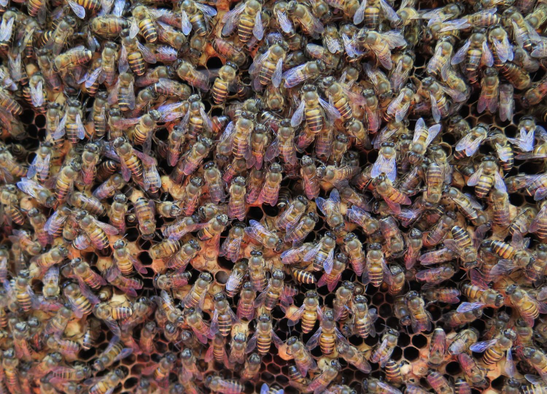 Vietnam-Mekong-Delta-Bees