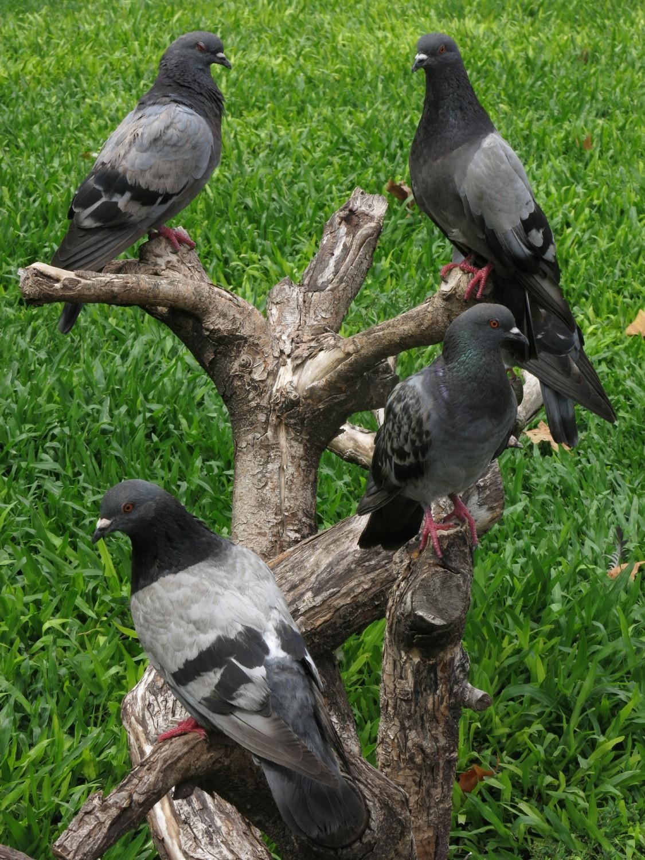 Argentina-Buenos-Aires-Plaza-De-Mayo-Pigeons