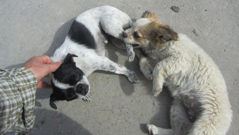 China-Turpan-Dogs