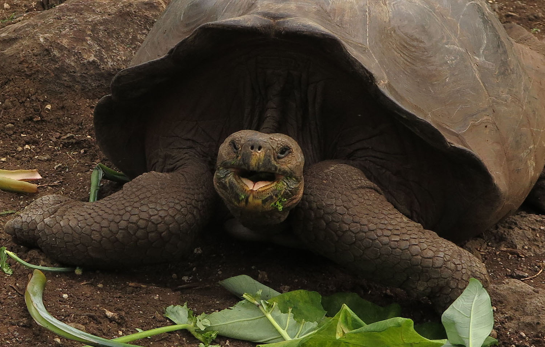Ecuador-Galapagos-Fauna-Giant-Tortoise
