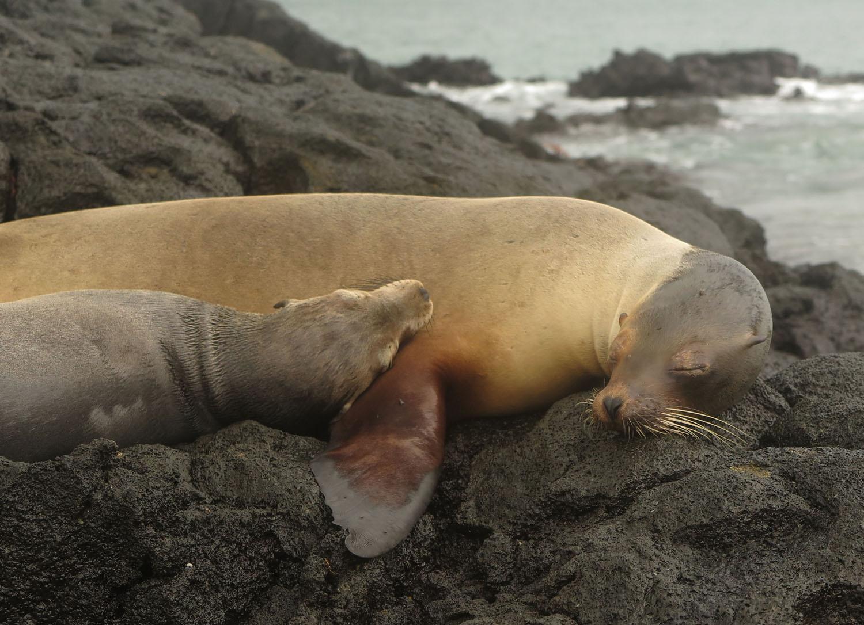 Ecuador-Galapagos-Fauna-Seals