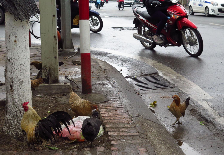 Vietnam-Hanoi-Street-Scenes-Chickens