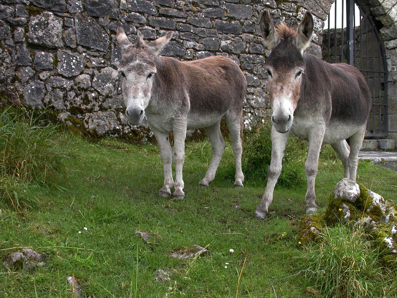 Ireland-Animals-Donkeys