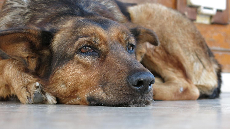 Turkey-Bosphorus-Dog