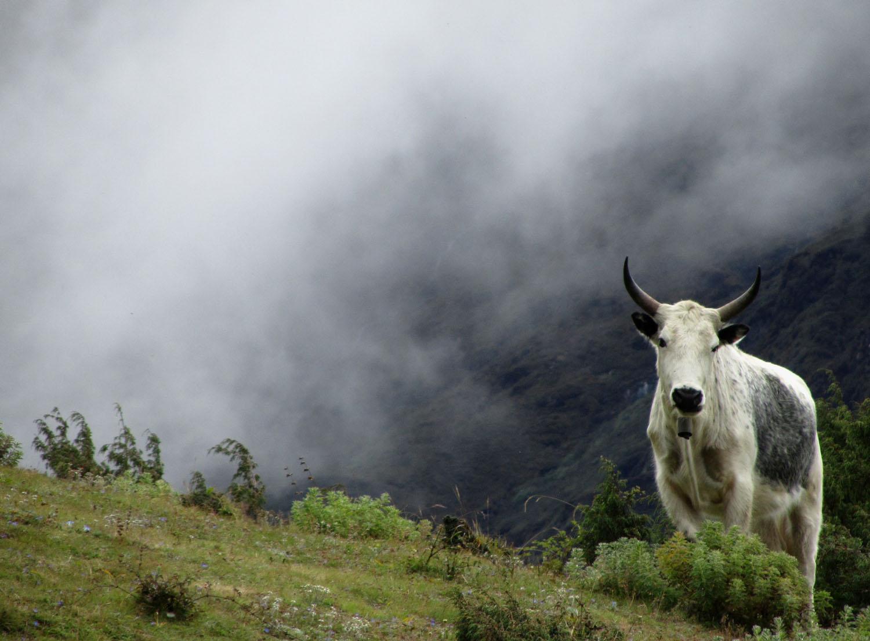 Nepal-Everest-Region-Trek-Day-03-Syangboche-Cow