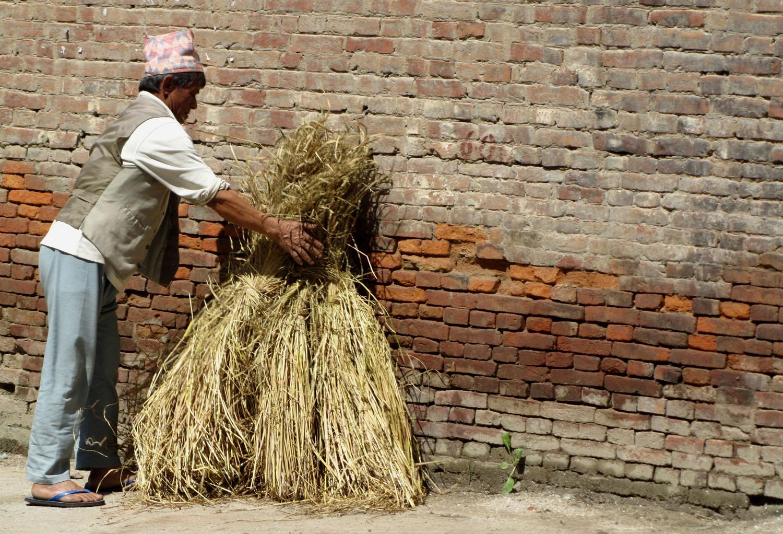 Nepal-Bhaktapur-Wheat
