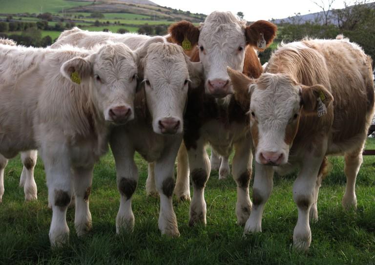 Ireland-Animals-Cows-Curious
