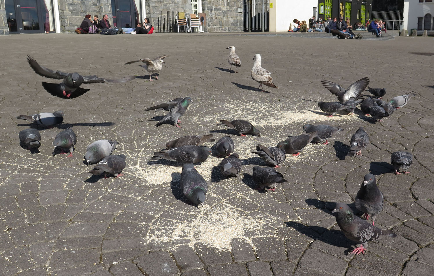 Ireland-Sights-And-Scenery-Galway-Pigeons