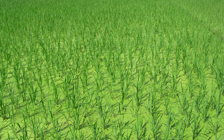 China-Yangshuo-Rice-Paddy