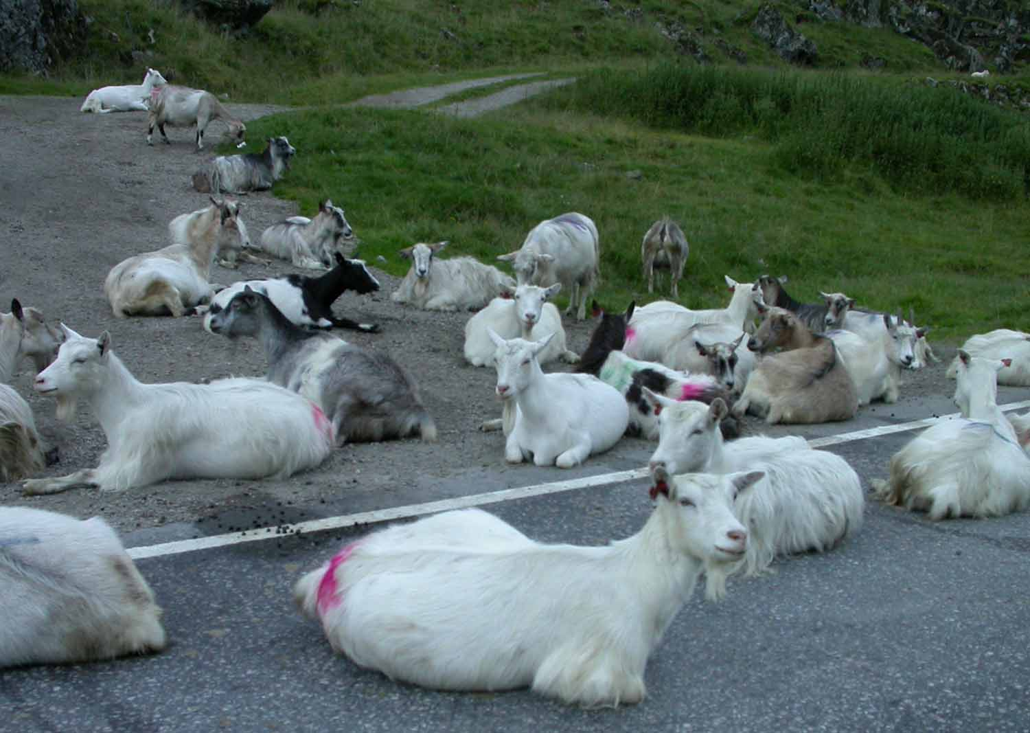 Norway-Goats