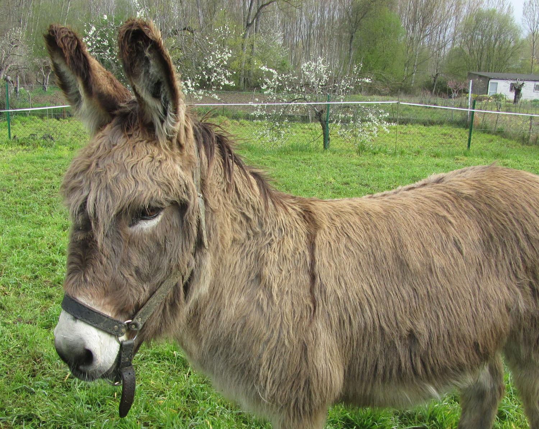 Camino-De-Santiago-Animals-Donkey
