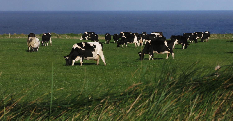 Ireland-Animals-Cows-Loop-Head