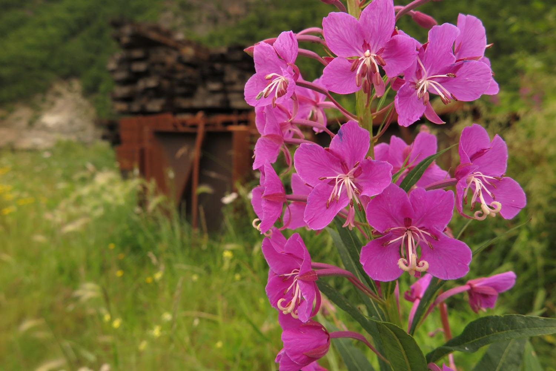 Alaska-Skagway-Flowers
