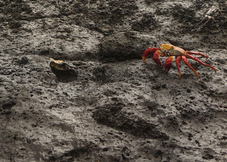 Ecuador-Galapagos-Fauna-Crab