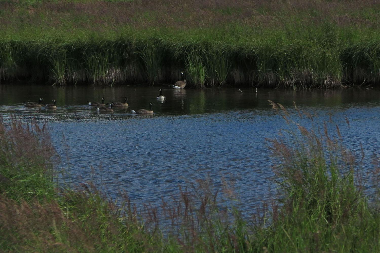 Alaska-Potter-Marsh-Geese