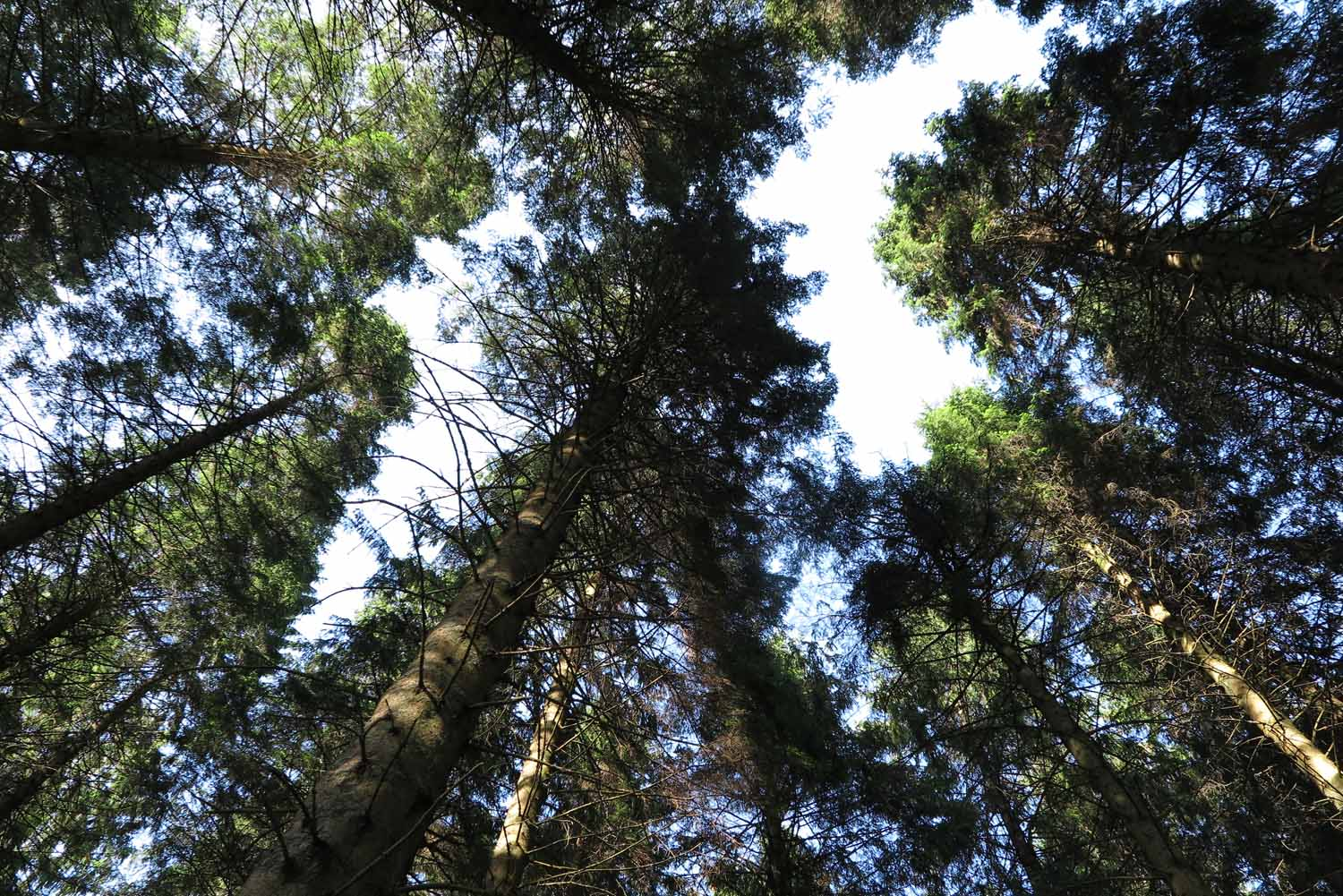 Scotland-Lowlands-Forest-Looking-Up