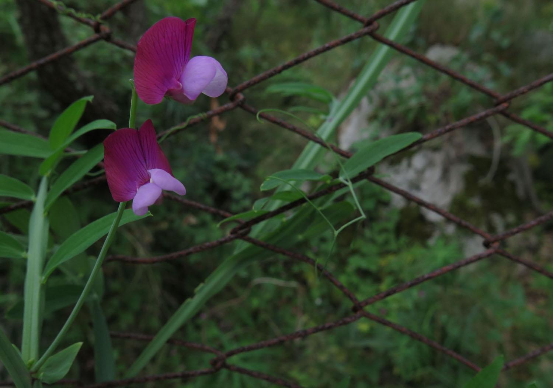 Italy-Capri-Flowers