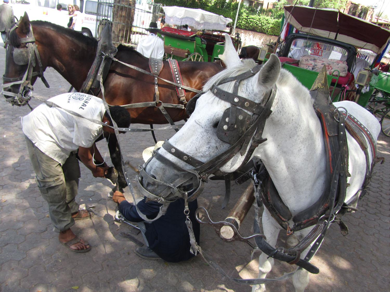 Morocco-Marrakech-Horses