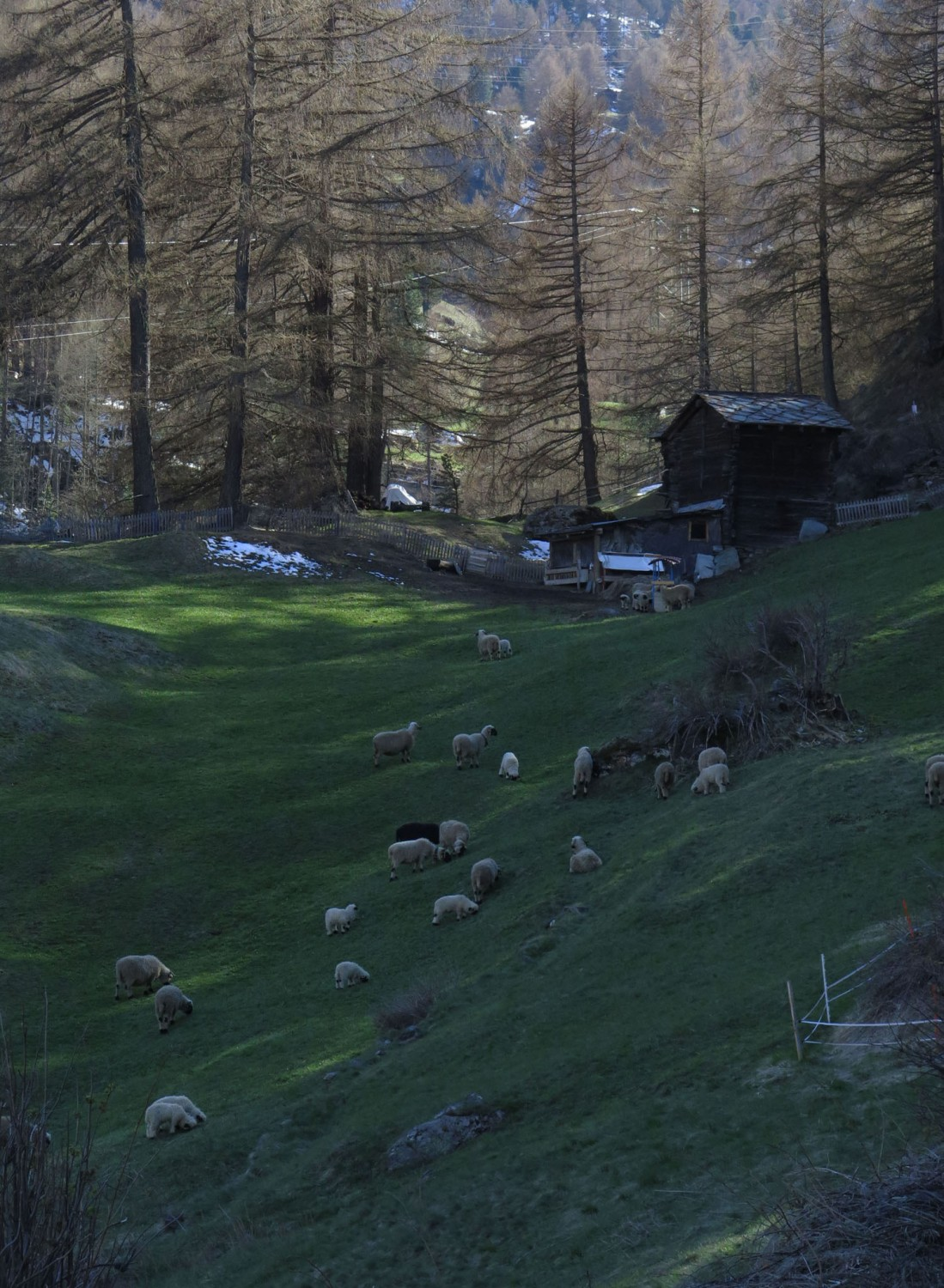 Switzerland-Zermatt-Foothills-Sheep