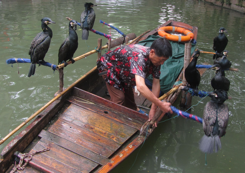 China-Suzhou-Cormorants