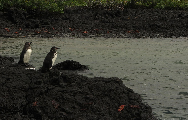 Ecuador-Galapagos-Fauna-Penguins