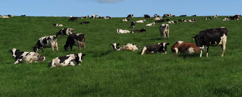 Scotland-Lowlands-Holsteins