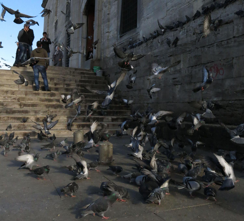 Turkey-Istanbul-Pigeons