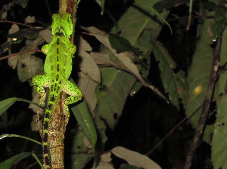 Amazon-Fauna-Lizard