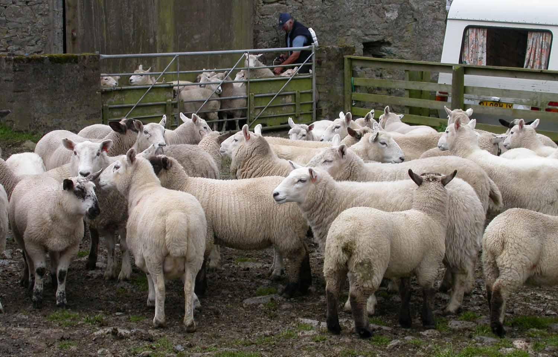 Scotland-Shetland-Sheep