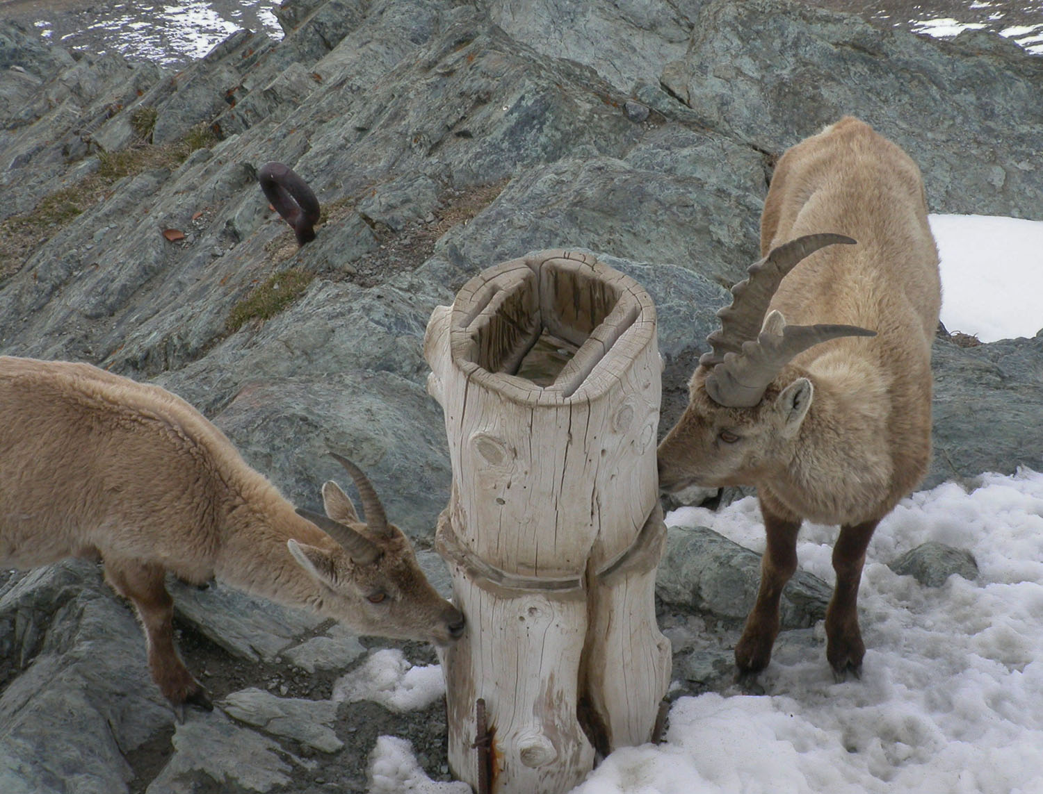 Switzerland-Zermatt-Gornergrat-Ibex