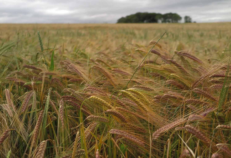 Scotland-Lowlands-Wheat