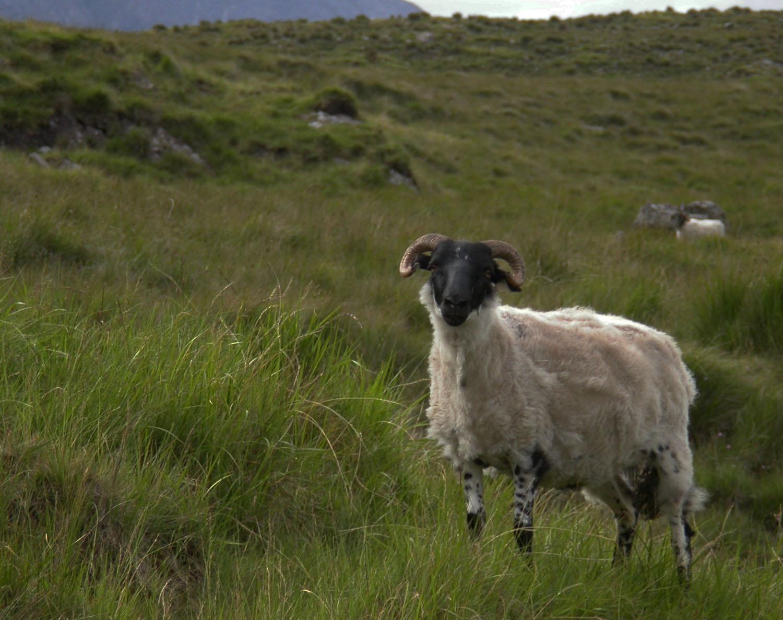 Ireland-Animals-Sheep
