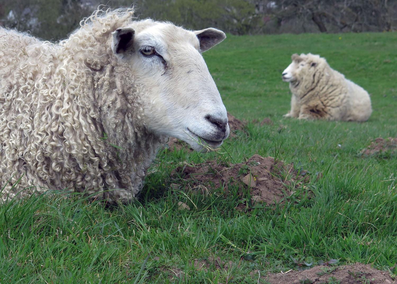 Scotland-Lowlands-Sheep