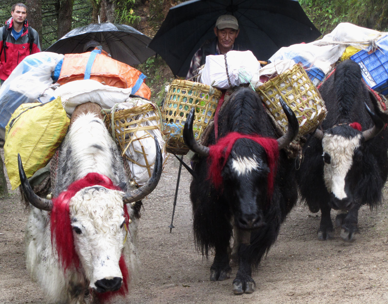 Nepal-Everest-Region-Trek-Day-05-Beasts-Of-Burden