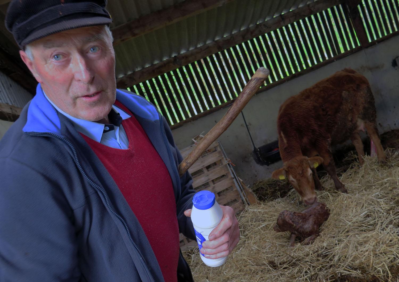 Ireland-Animals-Cow-Taobh-Coille
