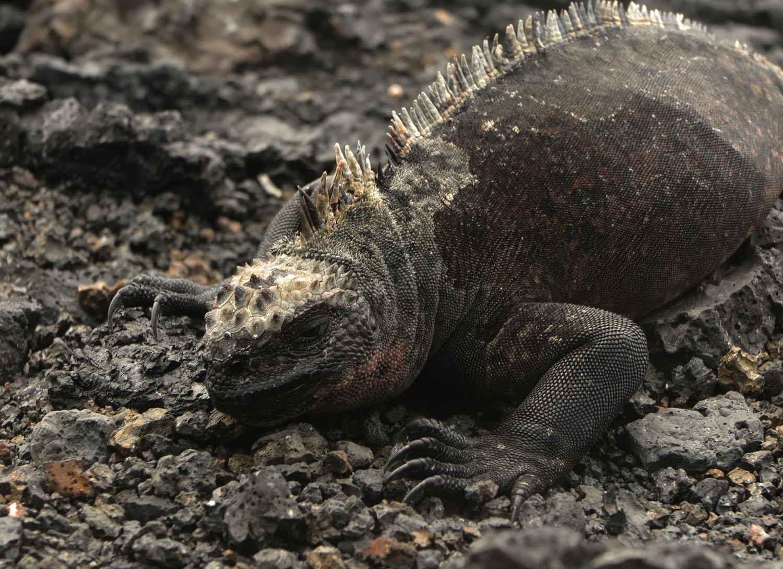 Ecuador-Galapagos-Fauna-Iguanas