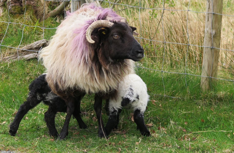 Ireland-Animals-Ewe-Lambs-Nursing